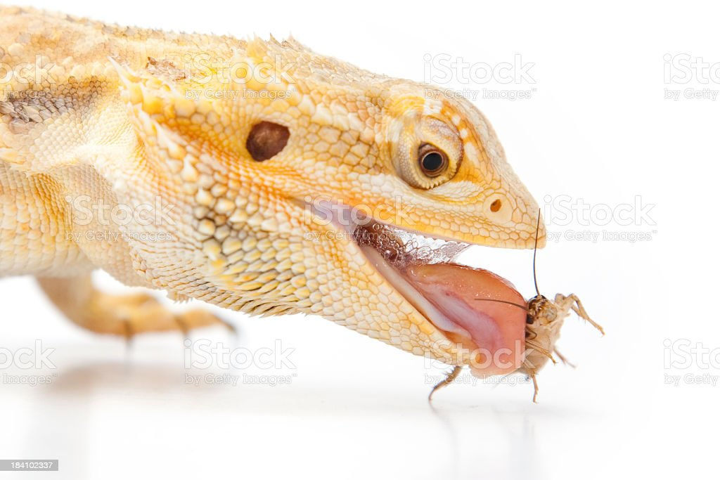 Bearded Dragon, eating an insect stock photo
