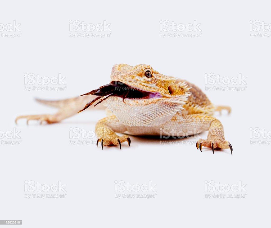 Bearded dragon eating cricket over white stock photo