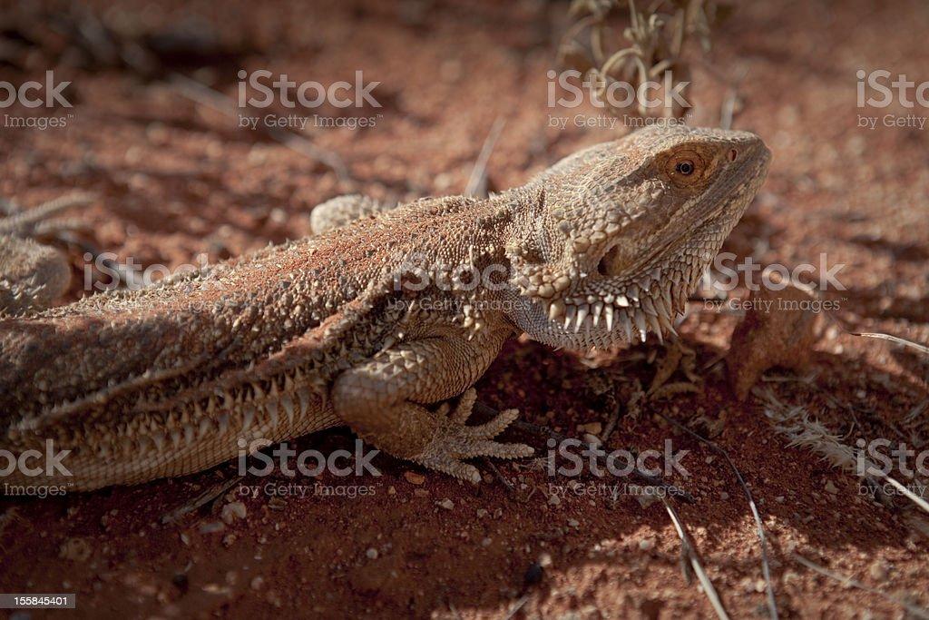 Bearded Dragon in Australia stock photo