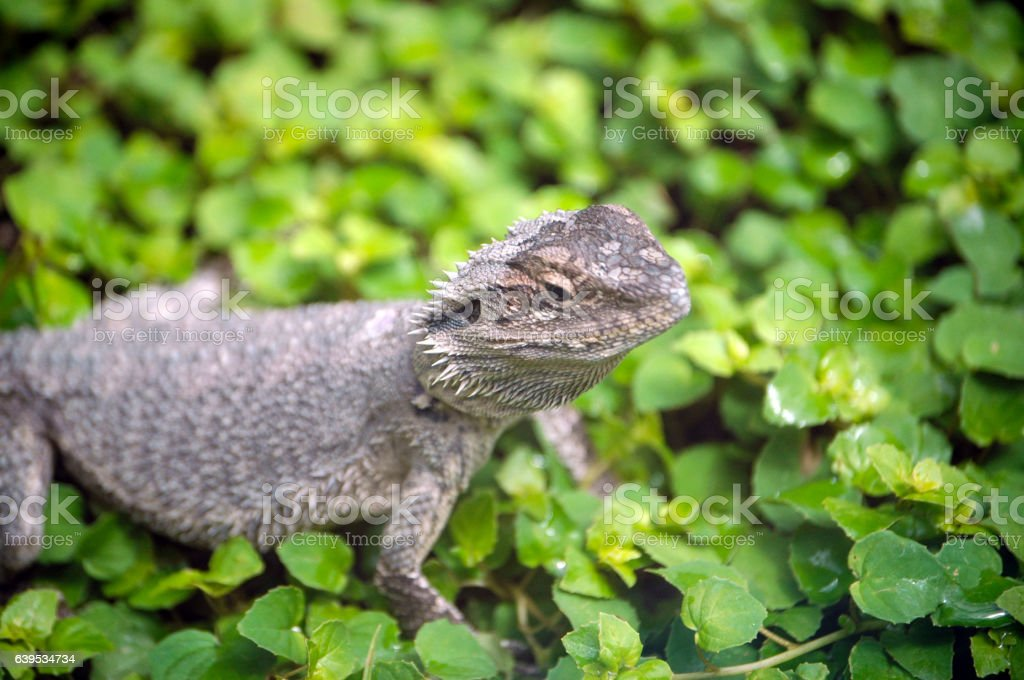 Bearded Dragon in foliage stock photo