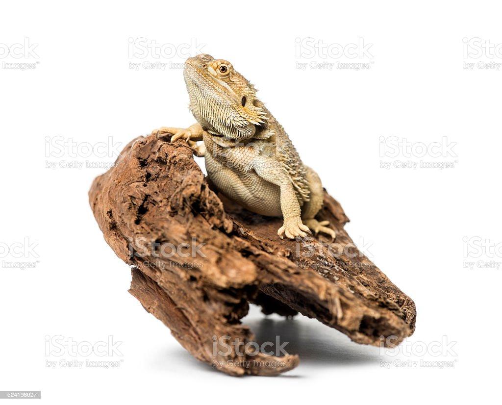 Bearded Dragon, isolated on white stock photo