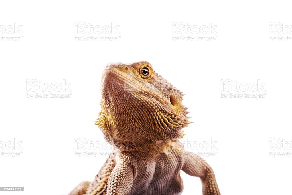Bearded Dragon isolated white background stock photo