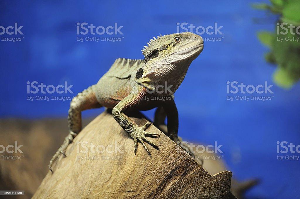 Bearded Dragon Lizard, Australia stock photo