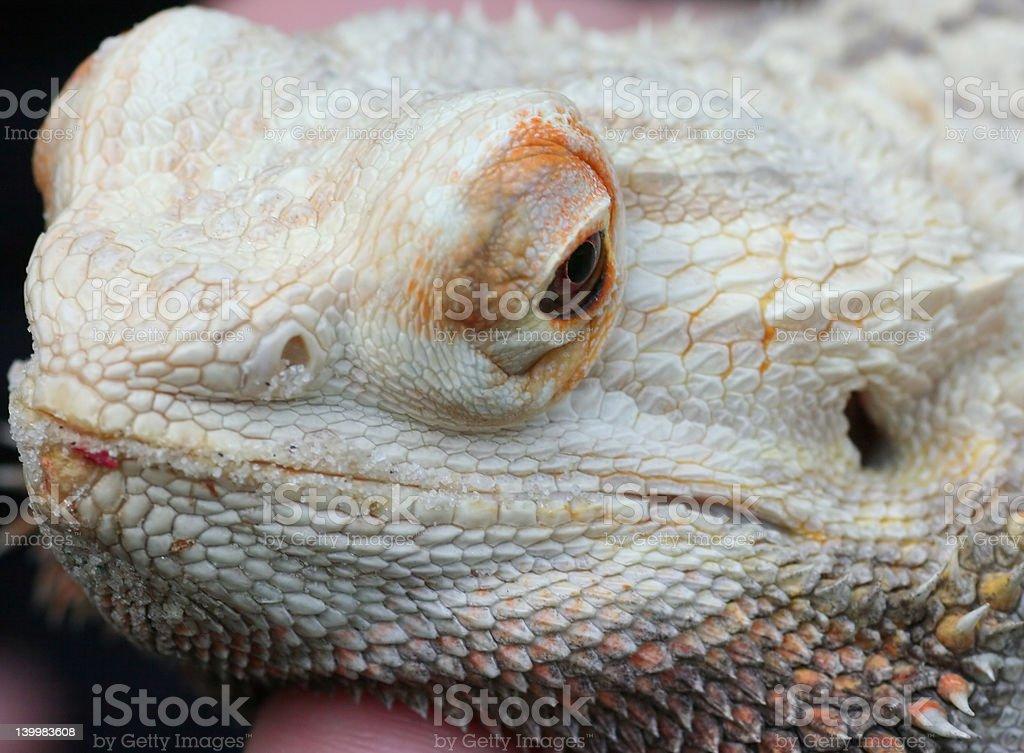 Lagarto dragón barbudo foto de stock libre de derechos