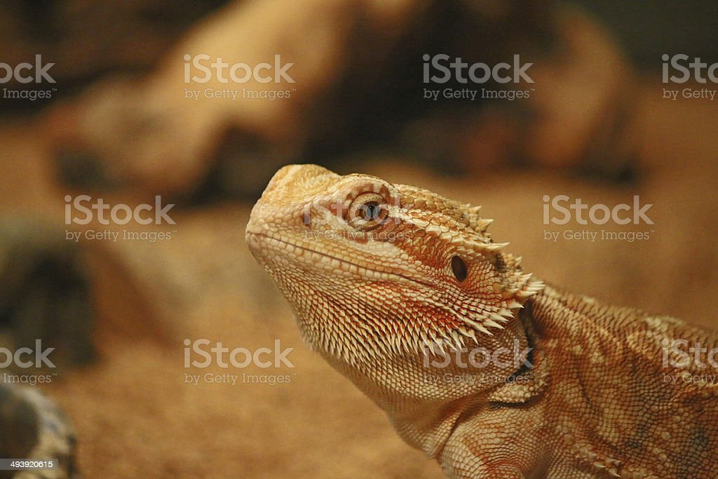 Bearded Dragon Lizard royalty-free stock photo