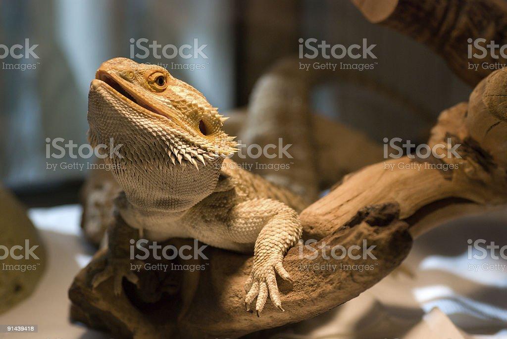 Bearded Dragon Lizard stock photo