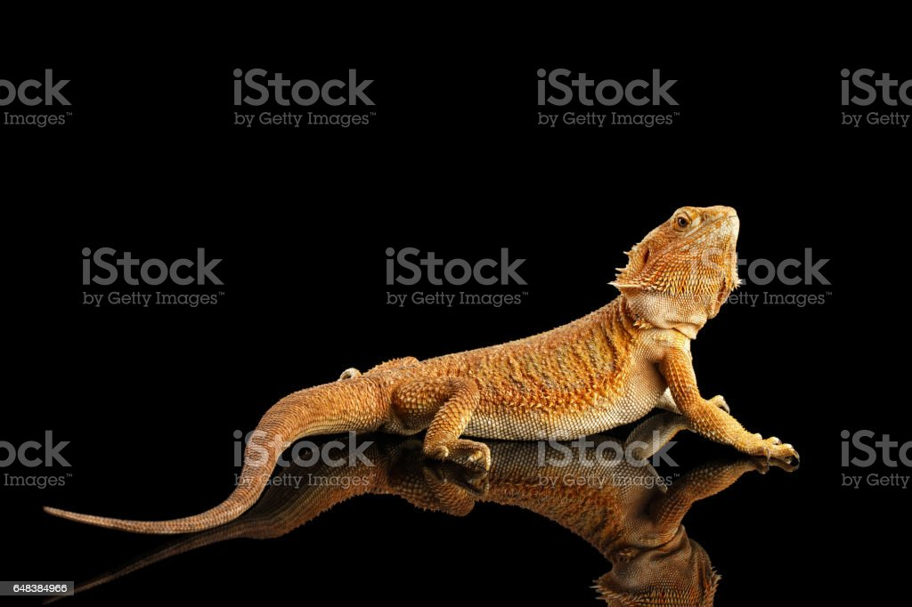Bearded Dragon Llizard Isolated on Black Background stock photo