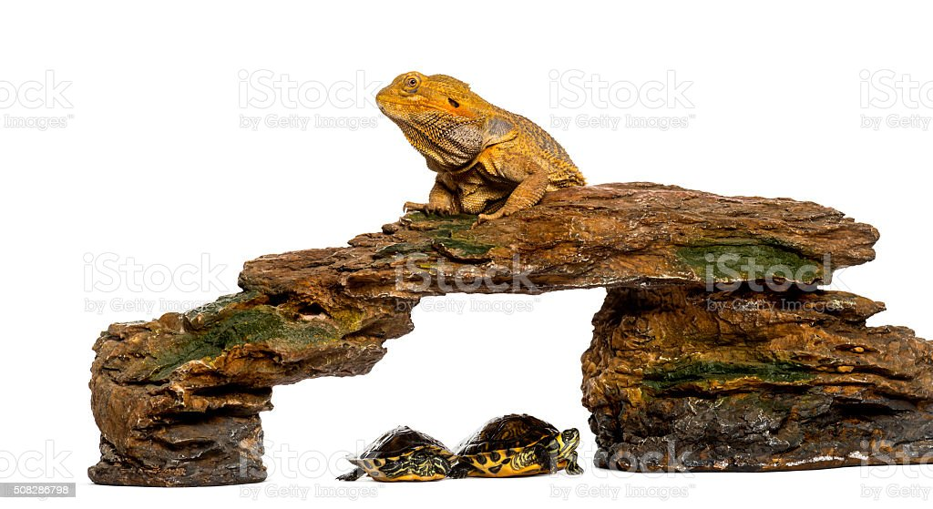 Bearded Dragon lying on a rock with two turtles underneath stock photo