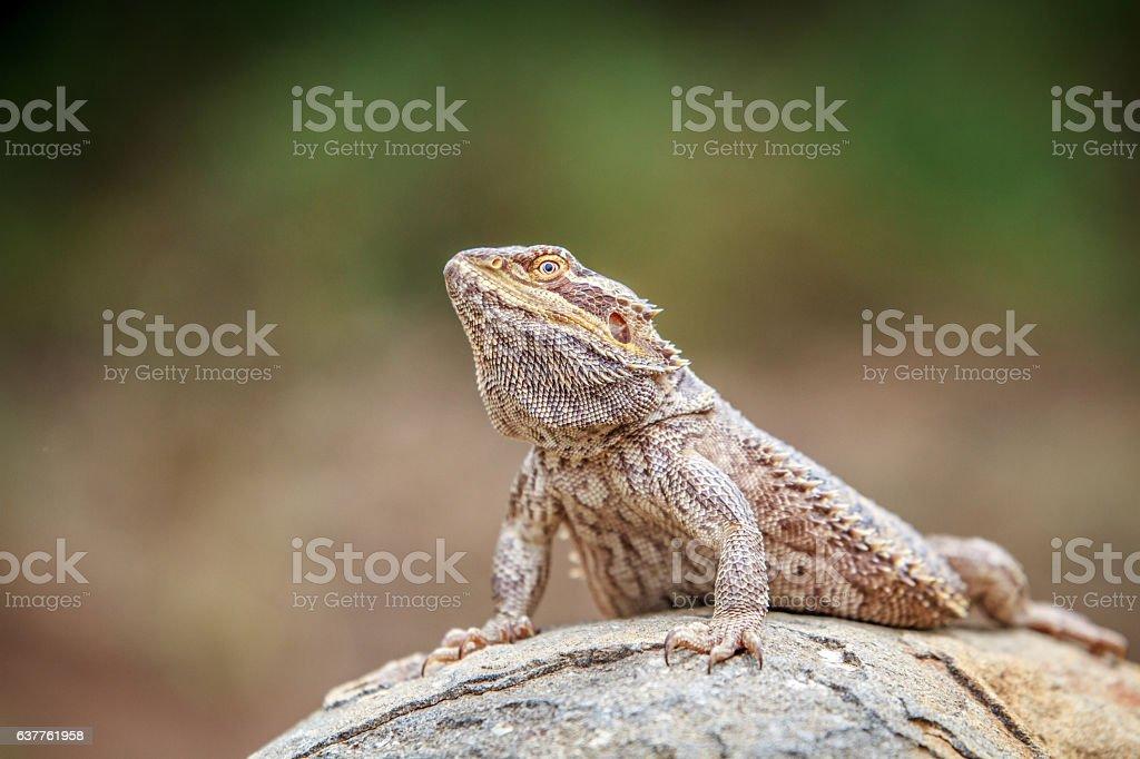 Bearded dragon on a rock. stock photo