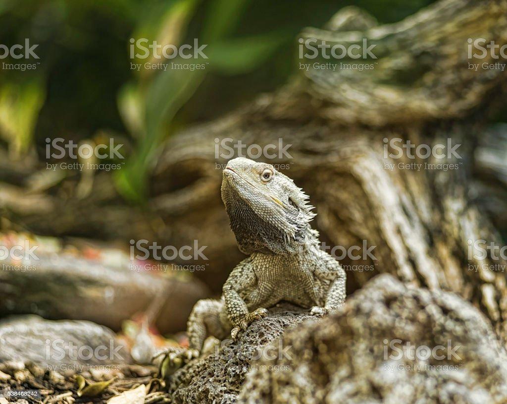 Bearded Dragon on rocks stock photo