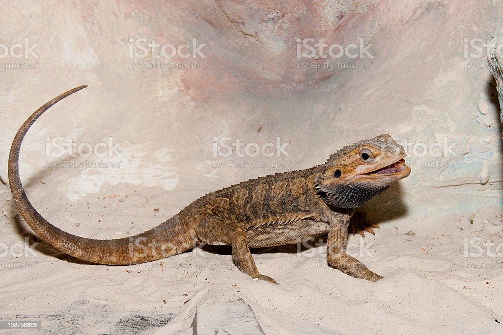 Bearded Dragon or Agama stock photo