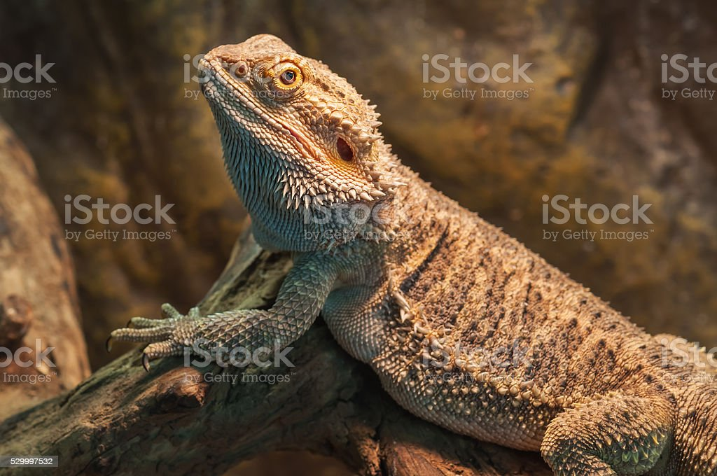 bearded dragon (agama lizard) stock photo