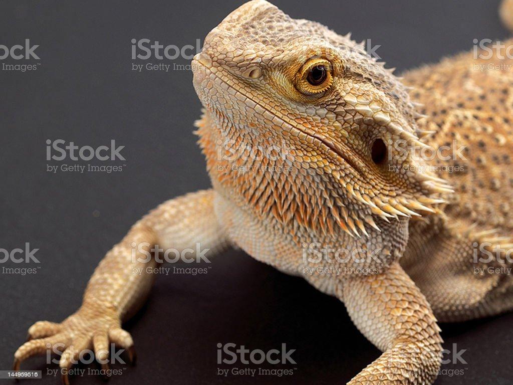 Bearded Dragon Pogona Vitticeps stock photo
