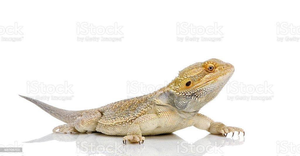 Bearded Dragon - pogona vitticeps stock photo