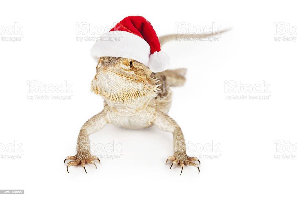 Bearded Dragon Wearing Santa Hat stock photo