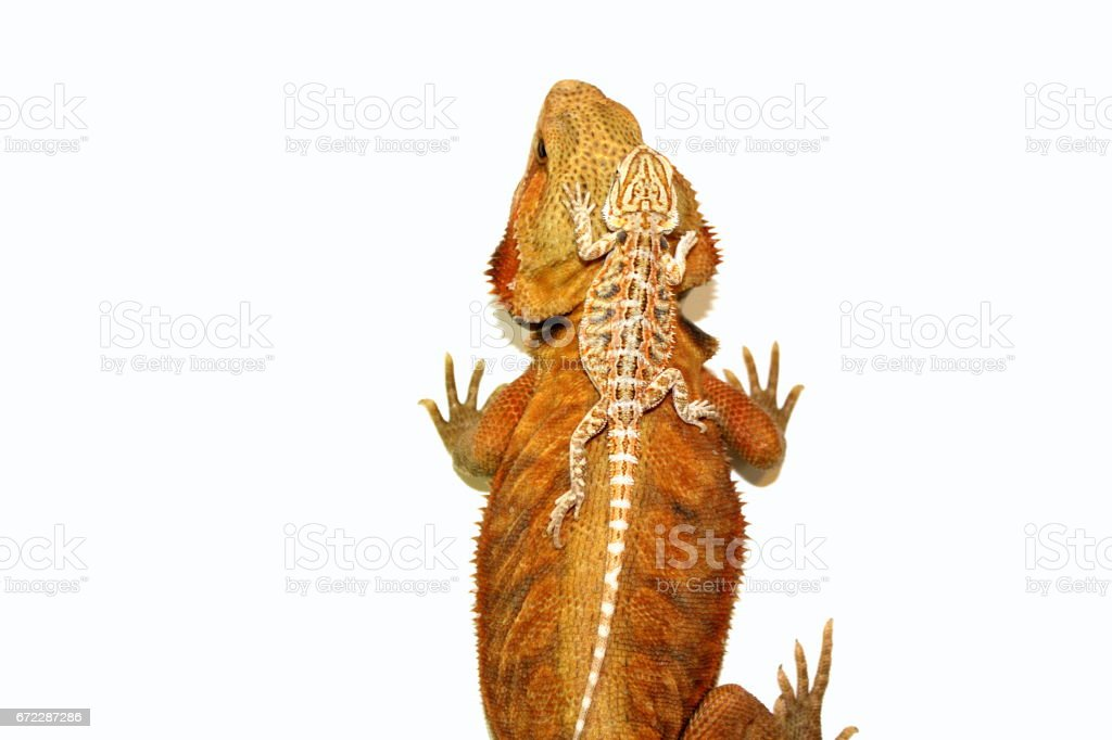 Bearded Dragon with a Baby on His Back stock photo