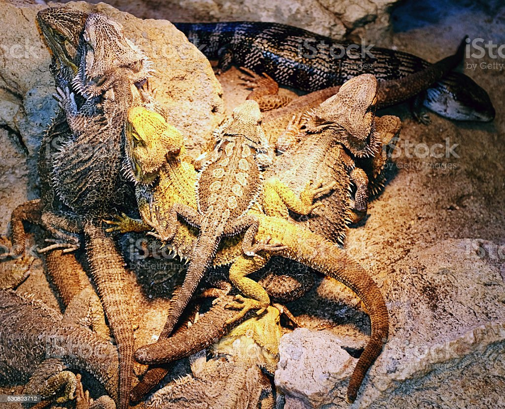 Pile of captive lizards gathering for warmth under a light. Mostly...
