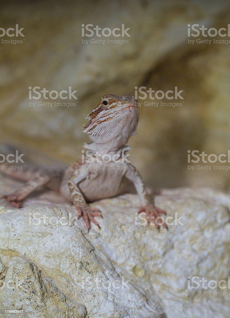 Bearded dragons royalty-free stock photo