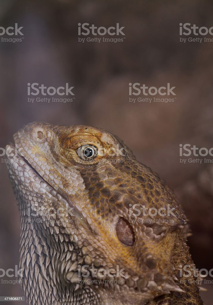 Bearded dragons royalty-free stock photo