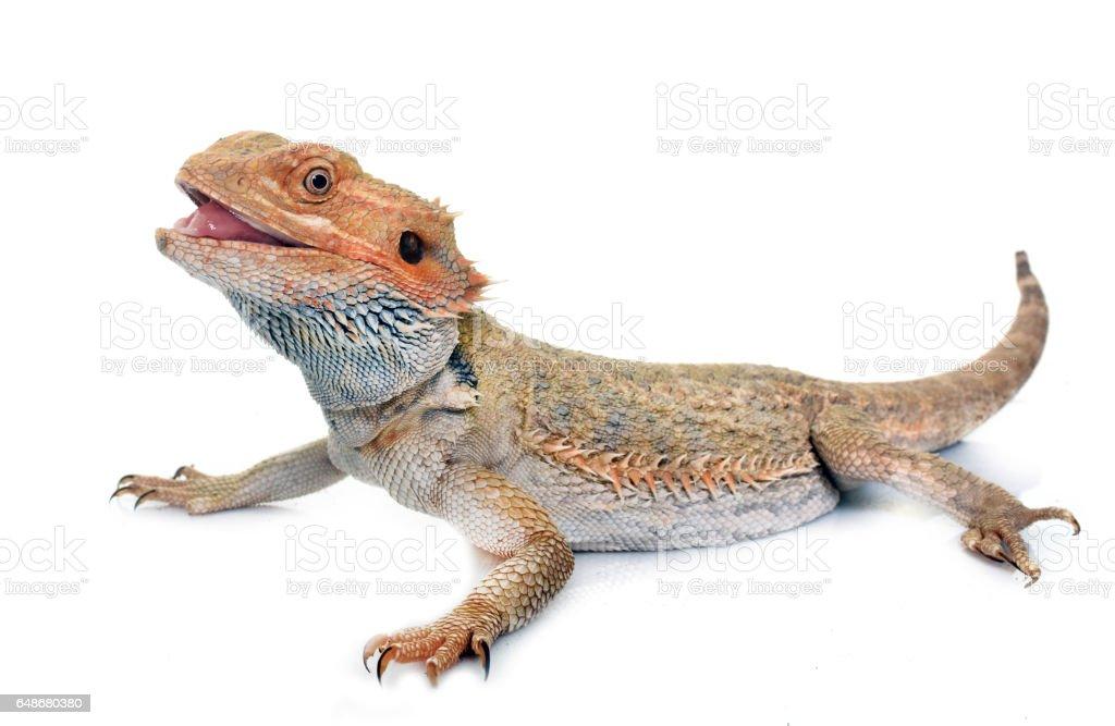bearded dragons stock photo