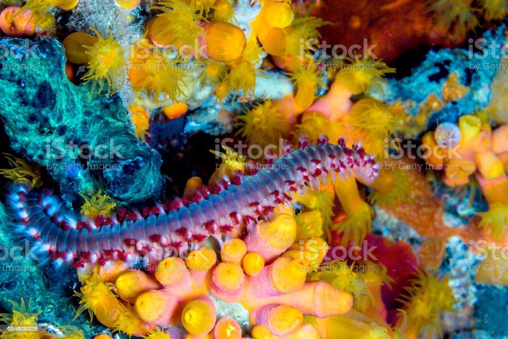 bearded fireworm,Hermodice carunculata stock photo