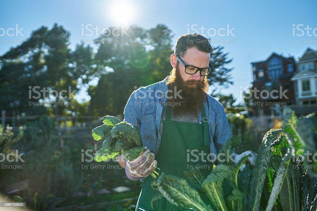 bearded man with bunch freshly picked kale in urban garden stock photo