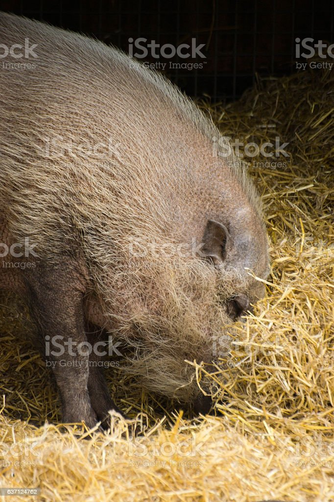 Bearded pig foraging stock photo