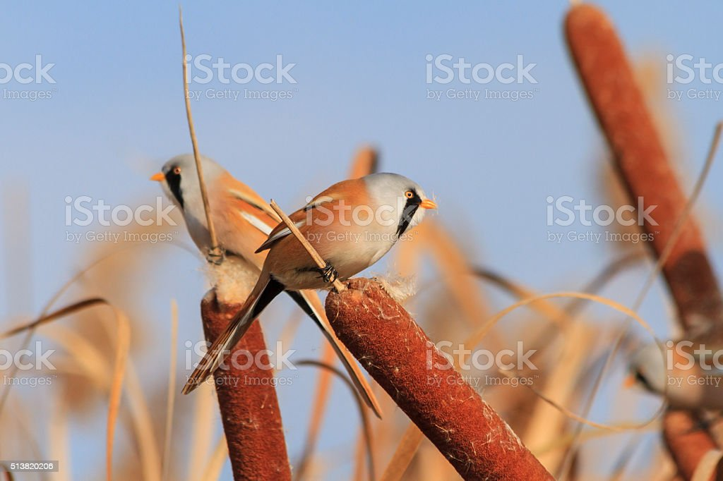 Bearded reedling feeding on cattail stock photo