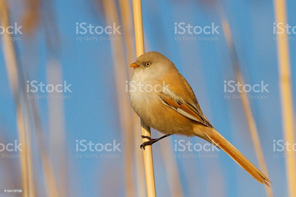 bearded reedling female bird stock photo
