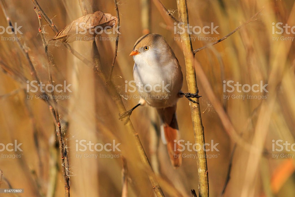 Bearded reedling female on the splits, look left stock photo