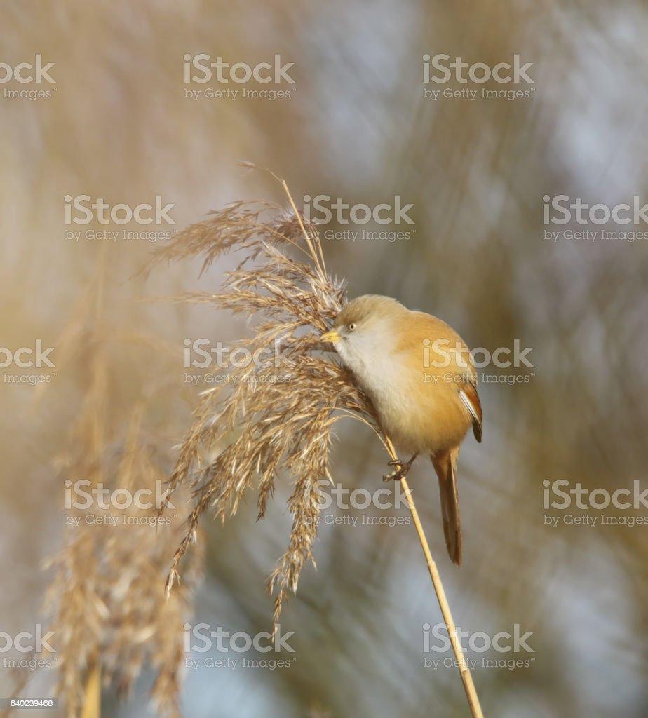 Bearded Reedling (Panurus biarmicus) Female stock photo