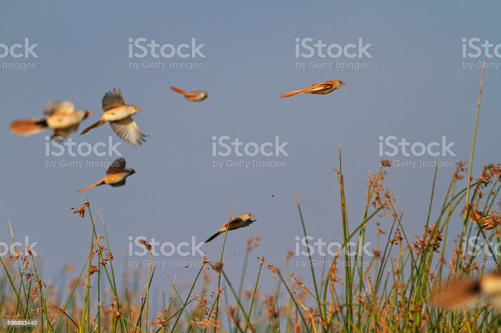 Bearded reedling flock in flight stock photo
