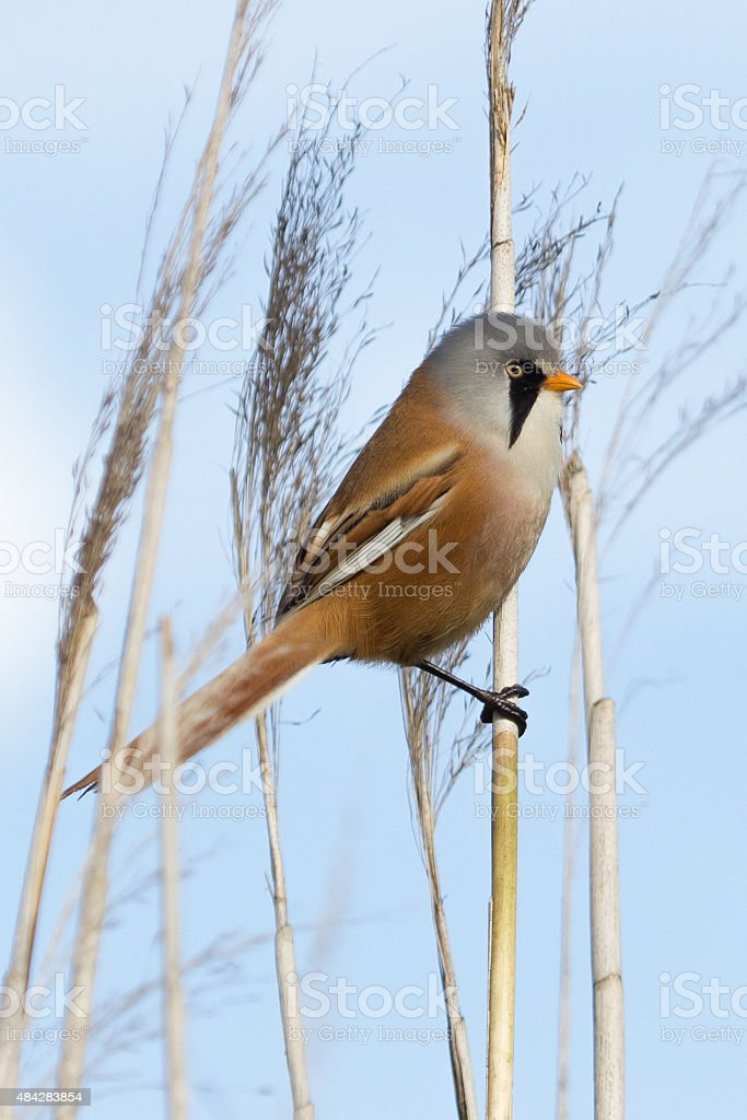 Bearded reedling male on reed. stock photo