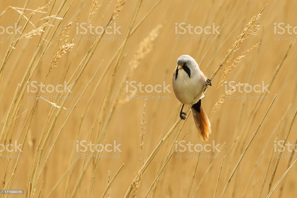 Bearded Reedling (or Tit), North Norfolk, England, UK stock photo