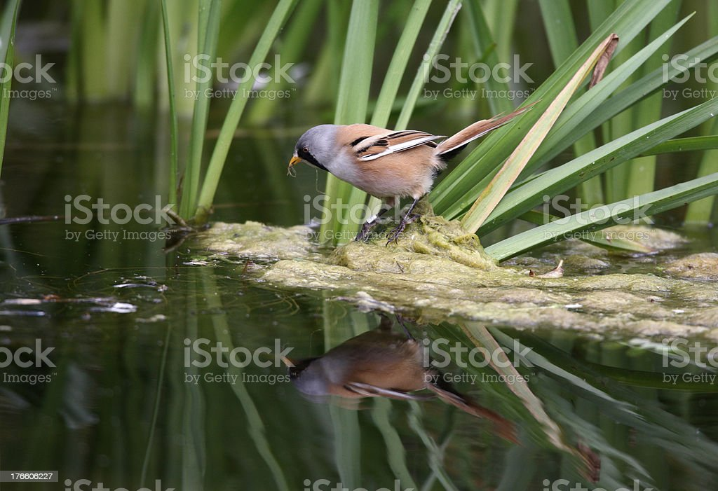 Bearded reedling or tit, Panurus biarmicus stock photo