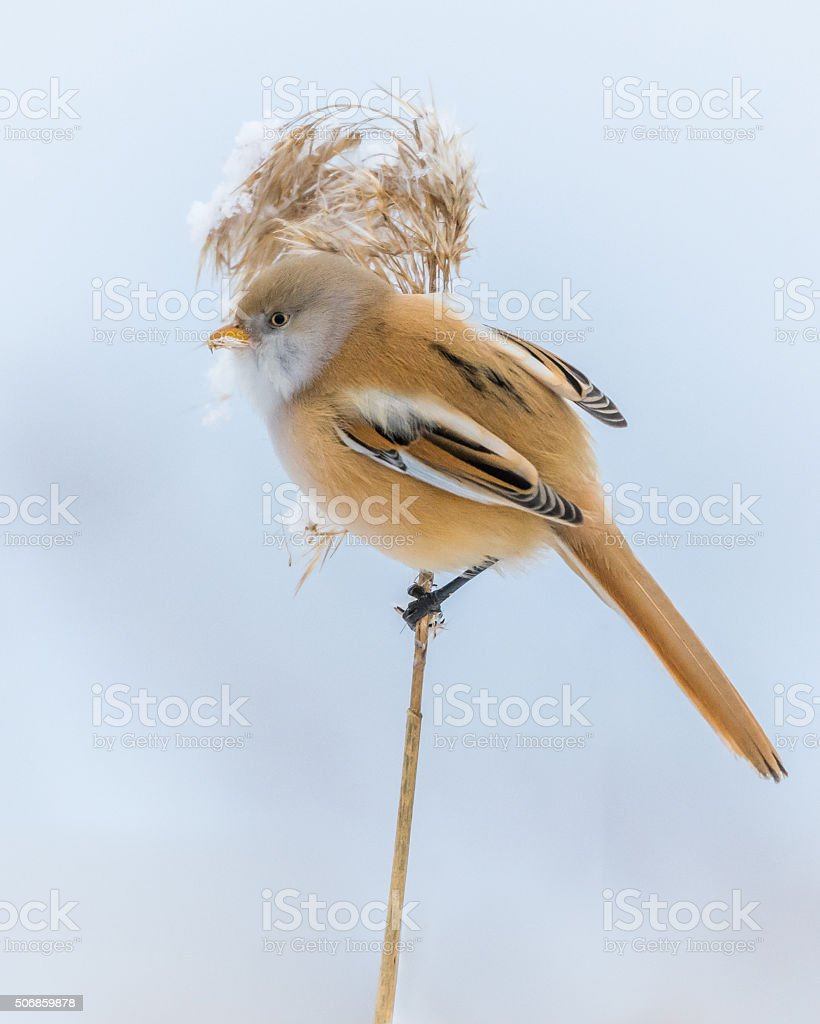 Bearded reedling stock photo