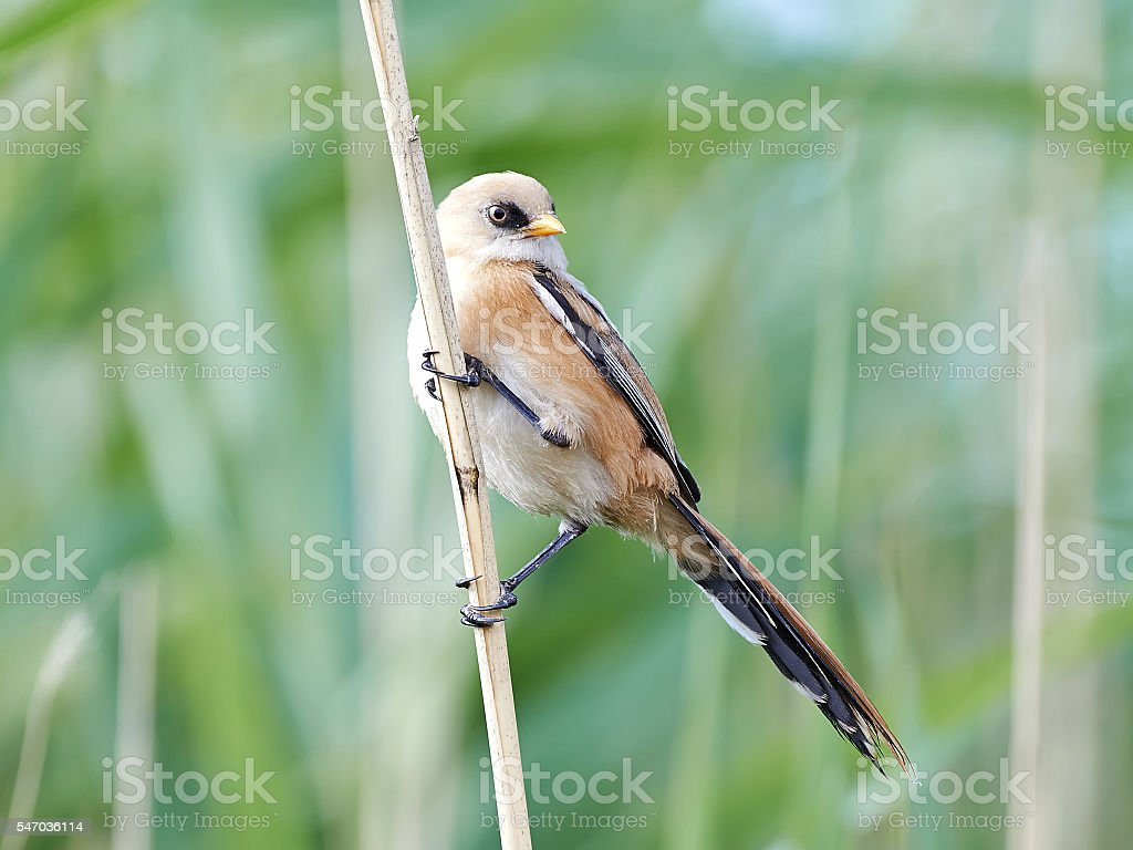 Bearded reedling (Panurus biarmicus) stock photo