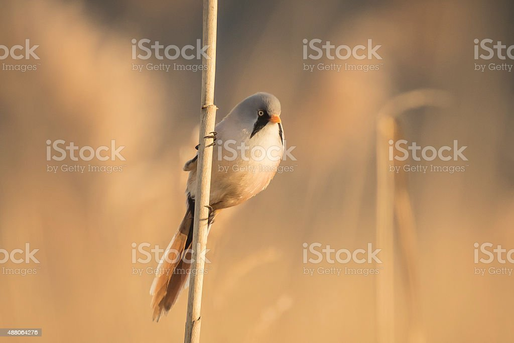 Bearded reedling (Panurus biarmicus) singing stock photo