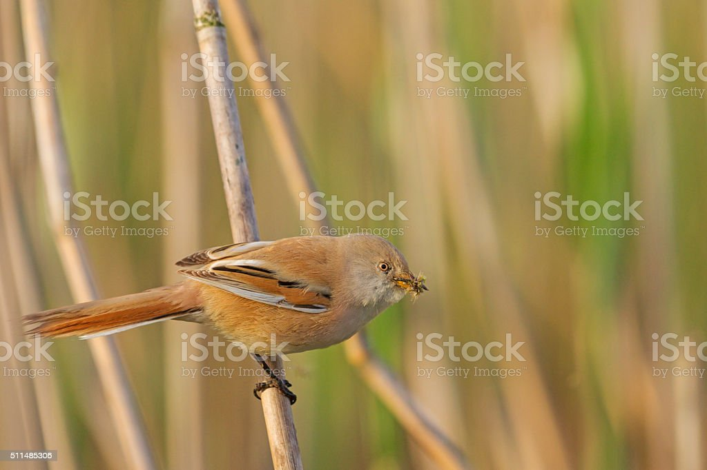 Bearded reedling  with food for chicks stock photo