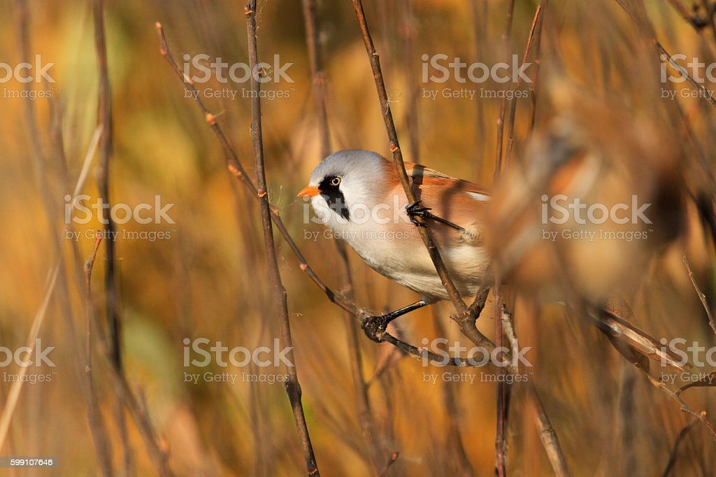 Bearded reedlings among gold leaves stock photo