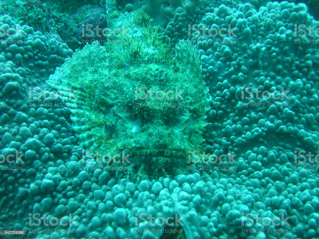 Bearded Scorpion Fish stock photo