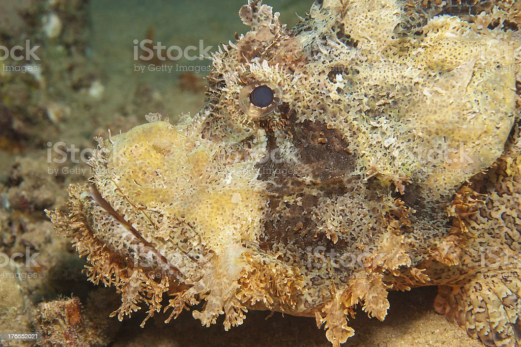 Bearded scorpionfish on the seabed royalty-free stock photo