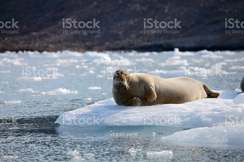 Bearded seal in Arctic stock photo