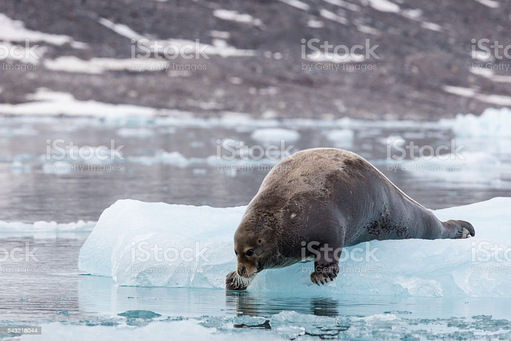 Bearded seal poised to jump from ice floe, Liefdefjorden, Svalbard stock photo