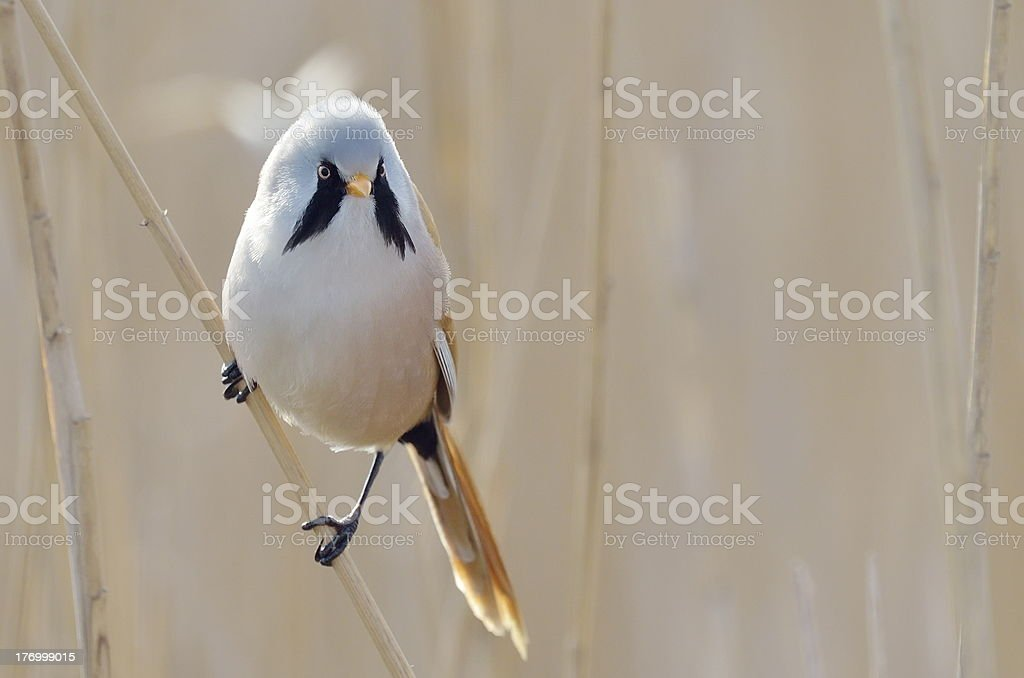 bearded tit male stock photo
