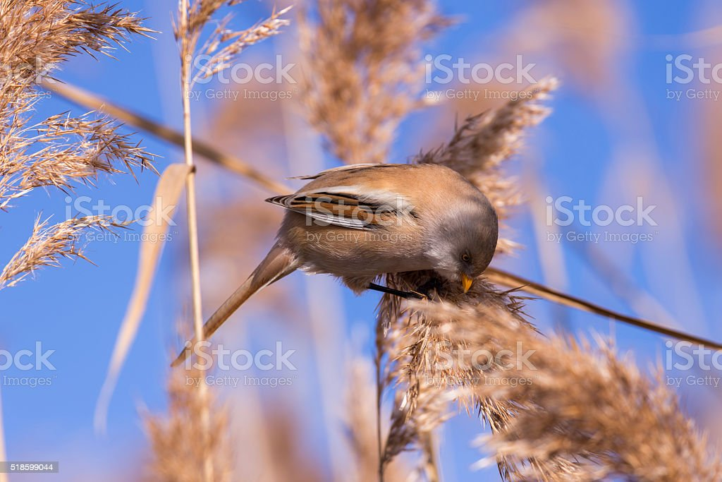 Bearded tit on the reed, female - reedling (Panurus biarmicus) stock photo