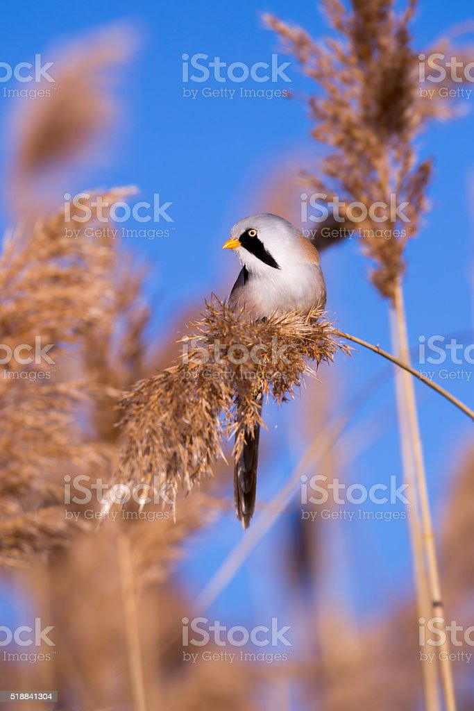 Bearded tit on the reed, male stock photo