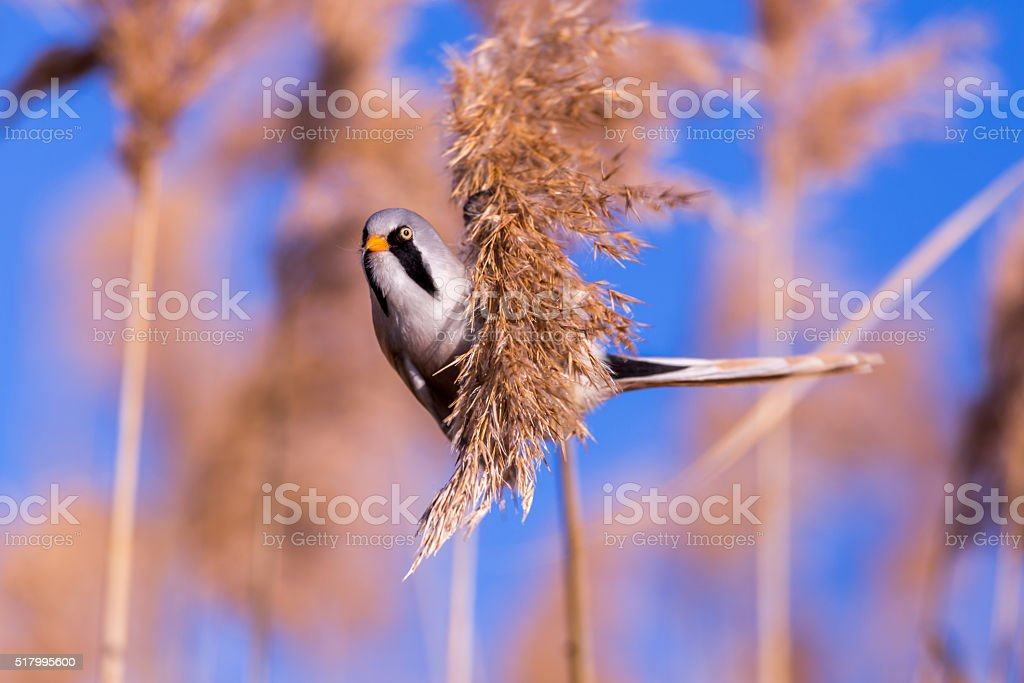 Bearded tit on the reed, male - reedling (Panurus biarmicus) stock photo