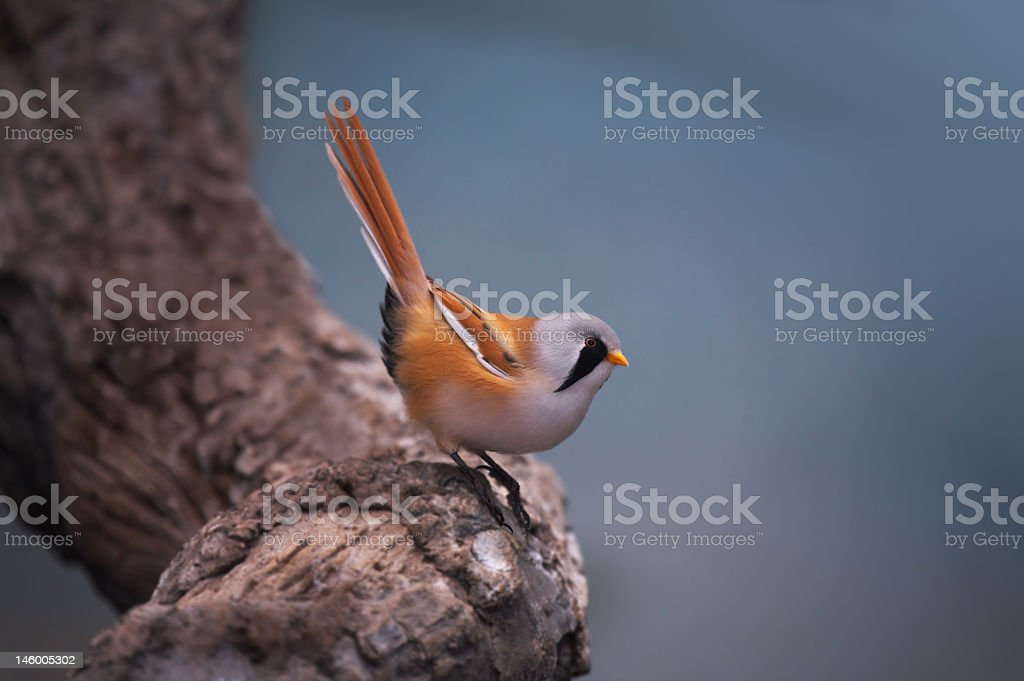 Bearded Tit. royalty-free stock photo