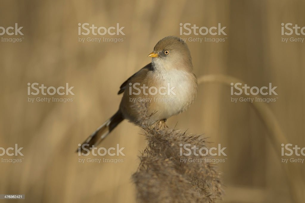 Bearded tit (Panurus biarmicus) stock photo